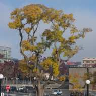 Ancient Chinese Scholar Tree at northwest corner of park
