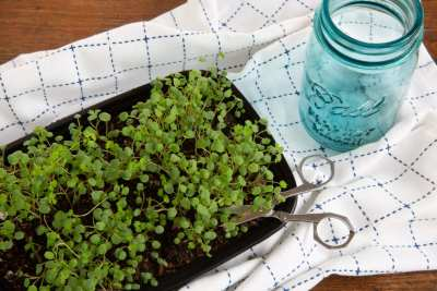 Grow your own Garnish: Microgreens @ Seattle Seed Company