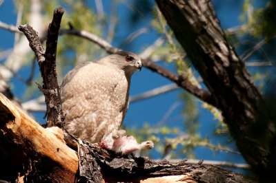 An adult Cooper's Hawk eating a young rabbit (Image: Brendan McGarry)