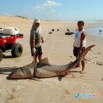 Tubarão é encontrado morto em praia de Itaúnas