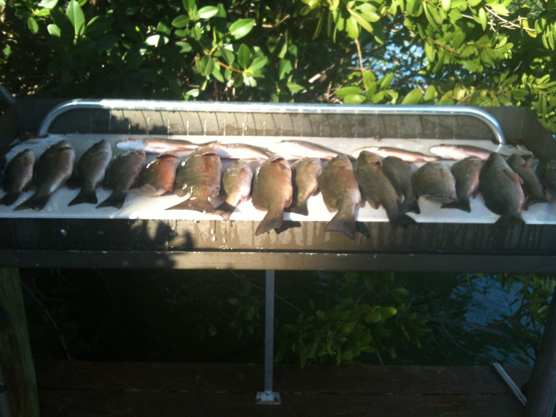 Mangrove snapper are biting. Book your trip today!