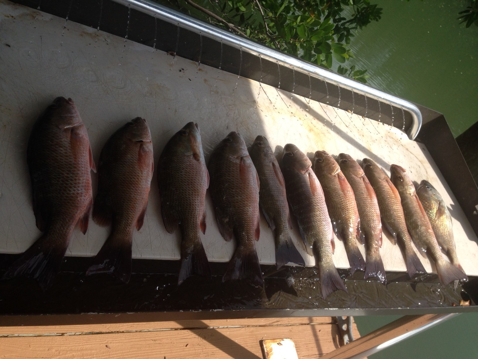 Limit off mangrove snapper off Marathon on a half day charter in the Fl Keys.