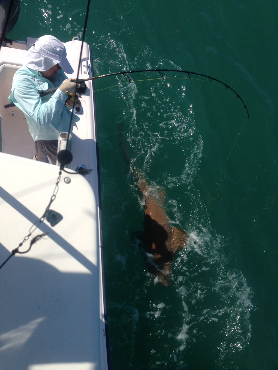 Big nurse shark fishing in the Gulf off Marathon in the Fl Keys.