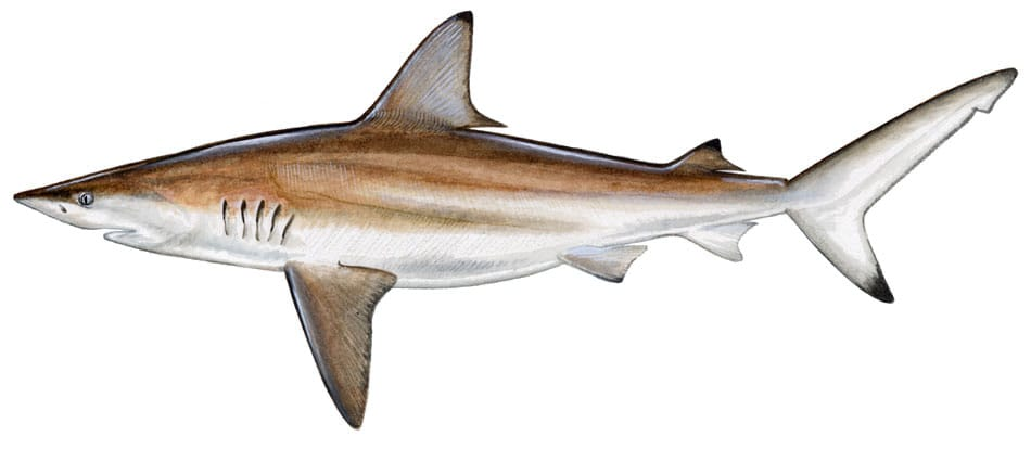 Blacktip shark, picture from http://www.captainmikeholliday.com/fish.php