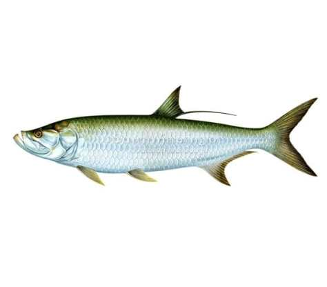 Tarpon, picture from http://www.drawnbydawn.com/