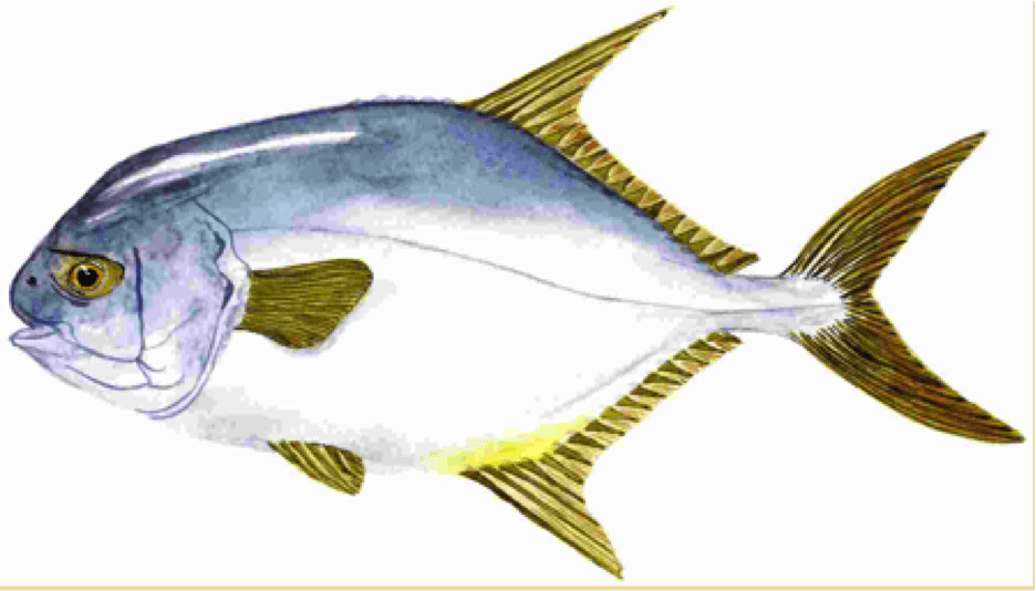 good eating fish captiva fishing report