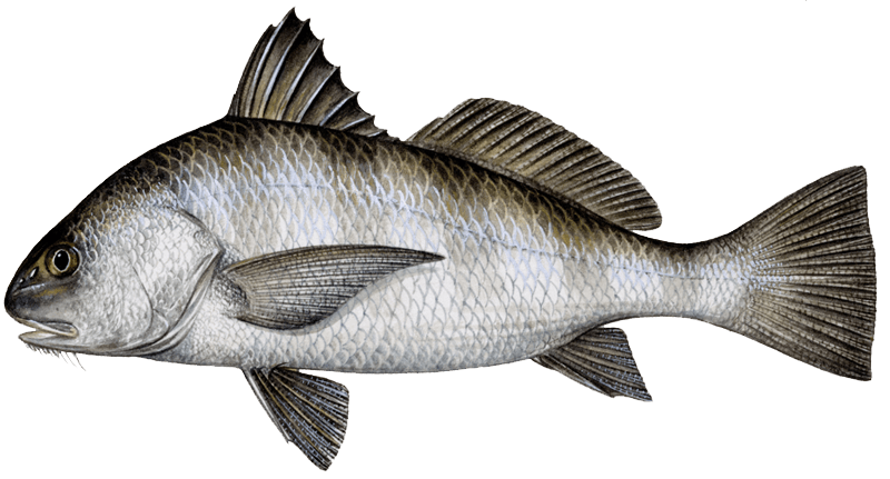 Black drum, picture from http://takemefishing.org/fishing/fishopedia/species-explorer/black-drum/