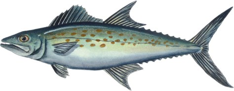 Spanish Mackerel, picture from http://www.nativeguide.net/Report.html
