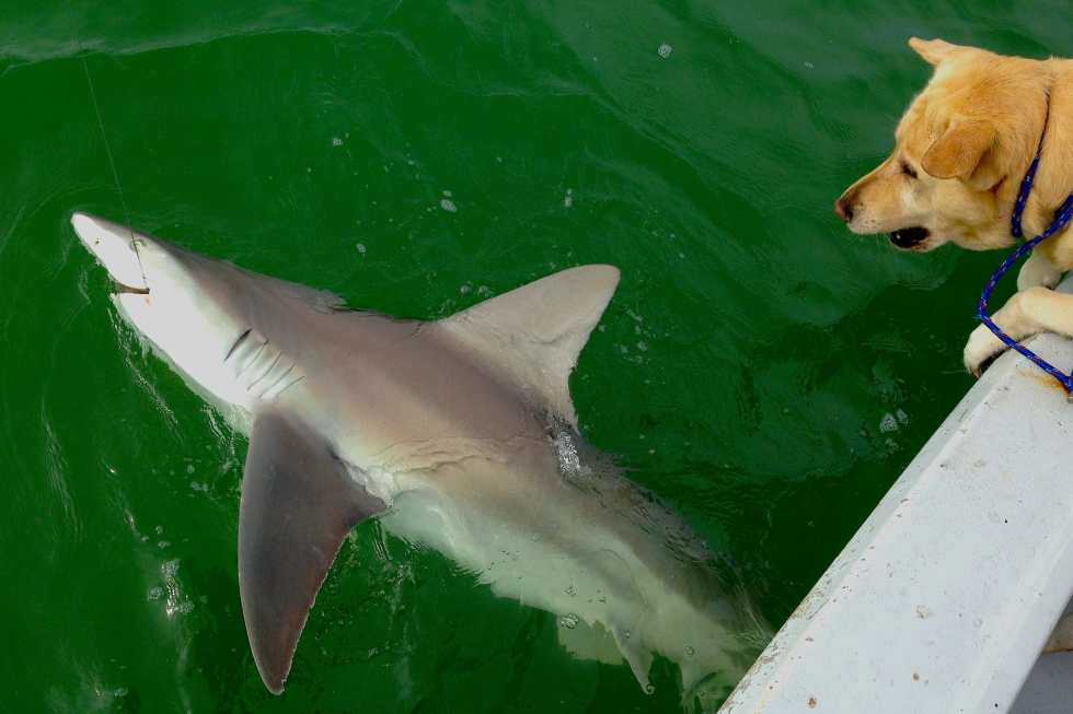BIg Bull Shark caught and released inshore of Captiva, Sanibel & Captiva Islands & Fort Myers Charters & Fishing Guide Service.