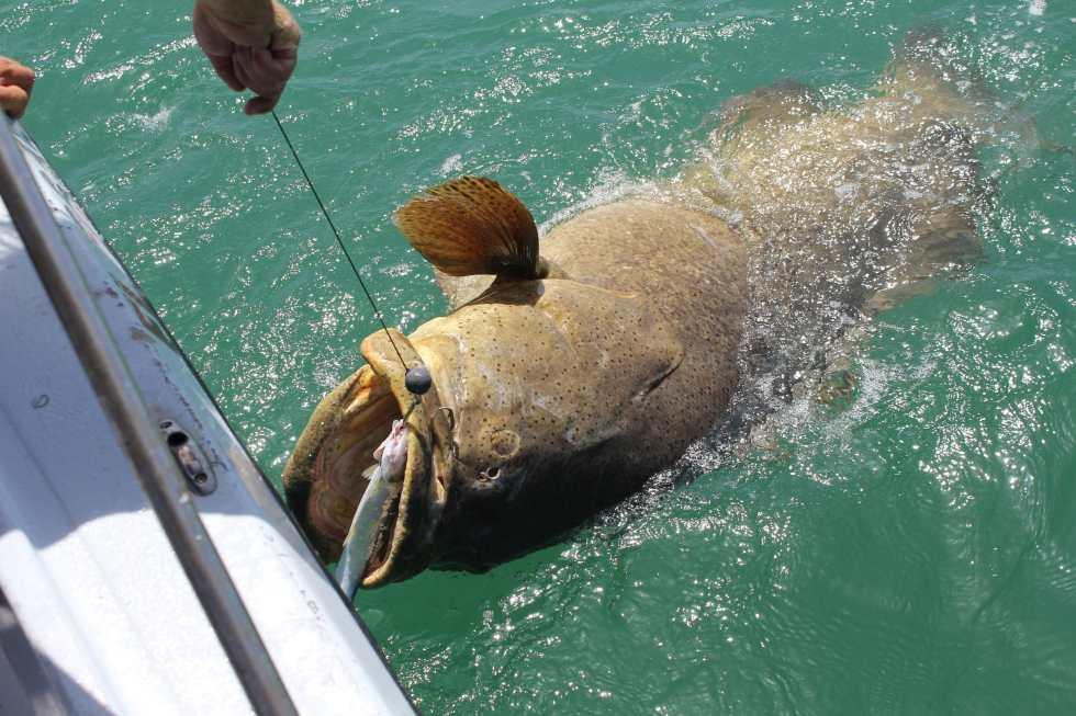 Big Goliath Grouper, Sanibel Fishing & Captiva Fishing, Monday, 7-20-15 ~ #Sanibel #Captiva.