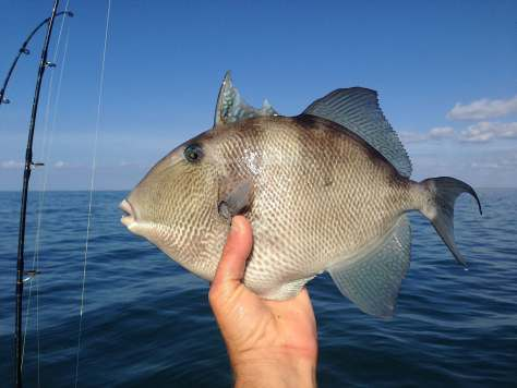 Triggerfish, Sanibel Fishing & Captiva Fishing, Sanibel Island, Monday, January 8, 2018, [File Photo - Sunday December 18, 2016].