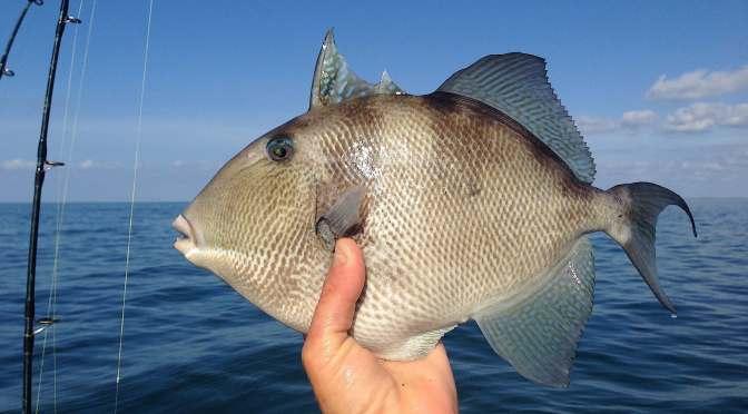 Captiva Fishing, Triggerfish!