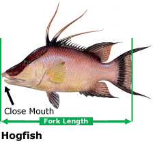 Proper Hogfish Measurement, Courtesy Of FWC, Hogfish or Hog Snapper, Catch & Release, Sanibel Fishing & Captiva Fishing, Sanibel Island, Sunday, April 23, 2017.