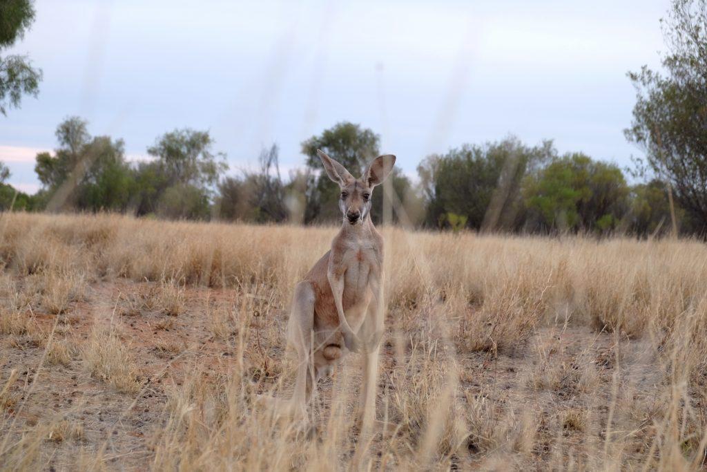 Sanctuaire Kangourous à Alice Springs
