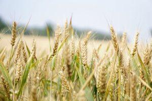 wheat-1556697__340
