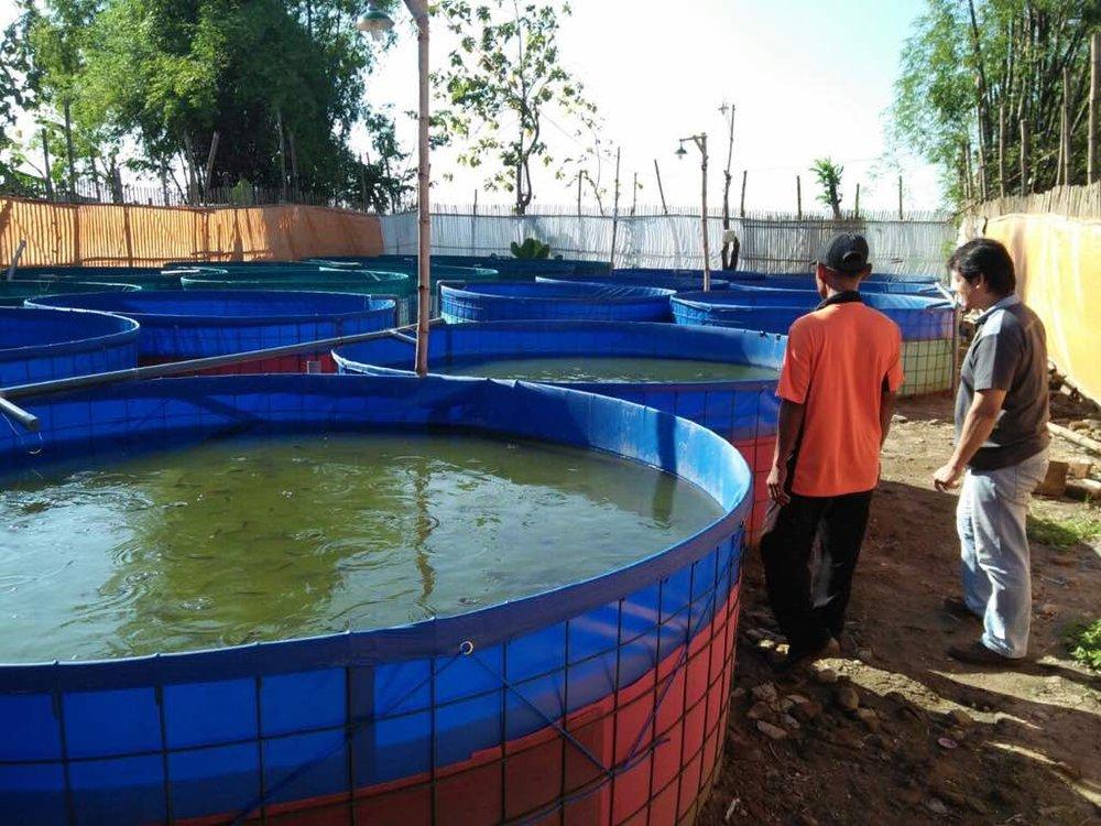 fermentasi panen kolam terpal