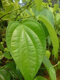 diabetes daun sirih hijau