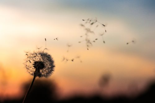 dandelion with sunset in background