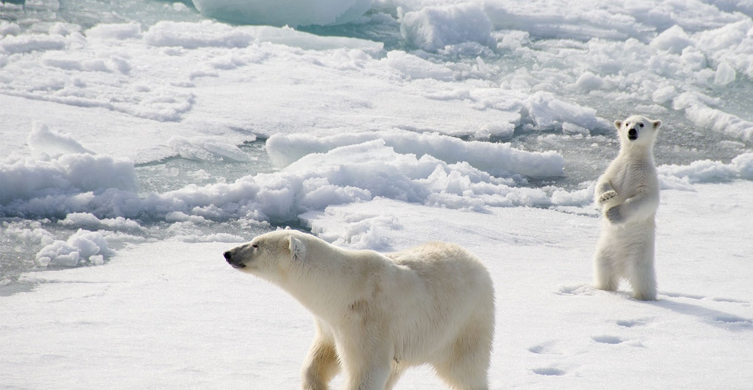 Polar Bears And Climate Change What Does The Science Say