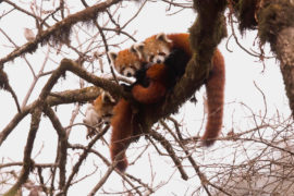 Wild red pandas in the eastern Himalayas, Singlila National Park, West Bengal, India, 02/2016. Credit: Shivang Mehta/Alamy Stock Photo.