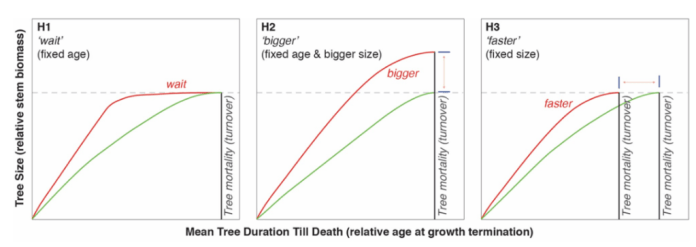Three line graphs showing Three hypotheses for what happens to trees that grow faster than the average. Each chart shows the expected relationship between age and growth rate for faster growing trees (red) and trees growing at an average rate (green). On the charts, the dashed line indicates maximum size and the black line represents tree death. Source: Büntgen et al. (2019)