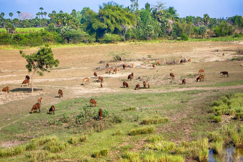 Terre affectée par le surpâturage par le bétail en Inde. Crédit: Maximilian Buzun / Alamy Banque de Photos. KKFE00