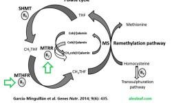 Riboflavin-folate-cycle