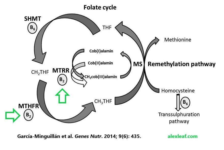 Riboflavin-folate-cycle