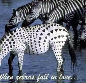 zebras_in_love