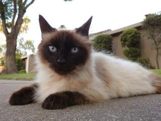 Cat Breeds for allergies