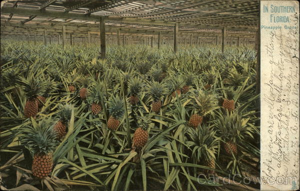 In Souther Florida Pineapple Grove Fruit