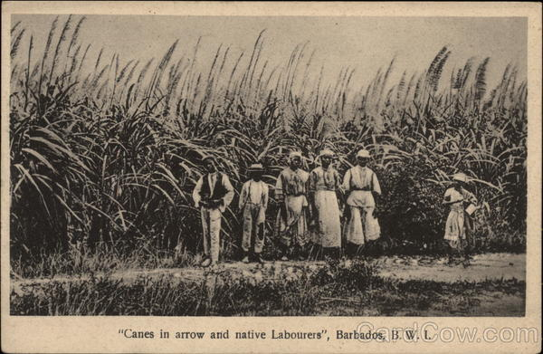 Sugar Cane And Native Workers Barbados British West