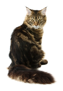 Maine Coon Care A Lot Pet Supply