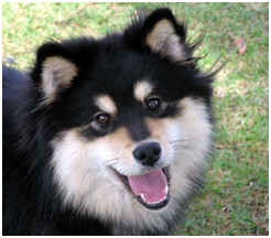 Finnish Lapphund Care A Lot Pet Supply