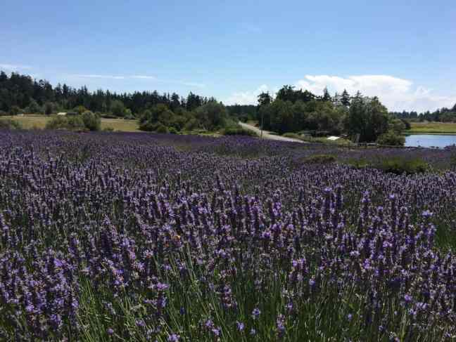 Walk in a field of lavender as one of the things to do on San Juan with kids.