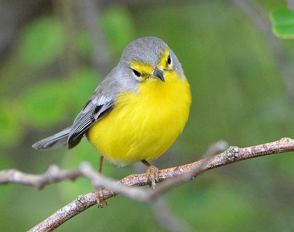 Barbuda Warbler