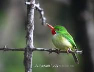 Jamaican Tody by Ricardo Miller