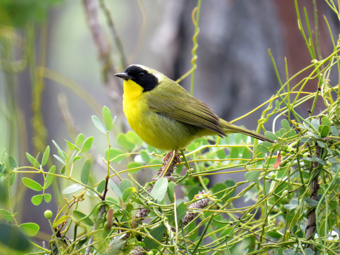 Bahama Yellowthroat (Photo by Carolyn Wardle)