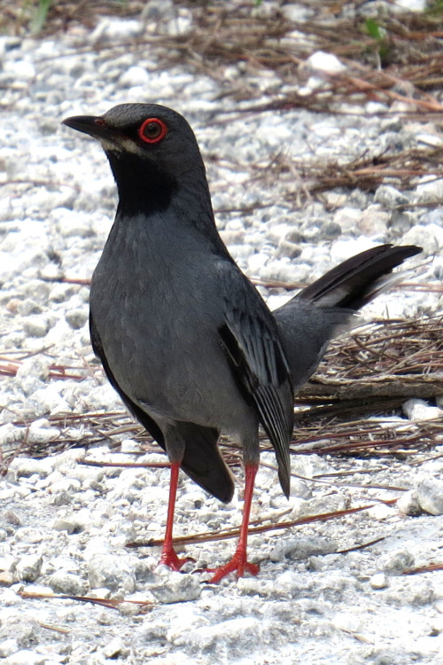 Red-Legged Thrush (Photo by Carolyn Wardle)