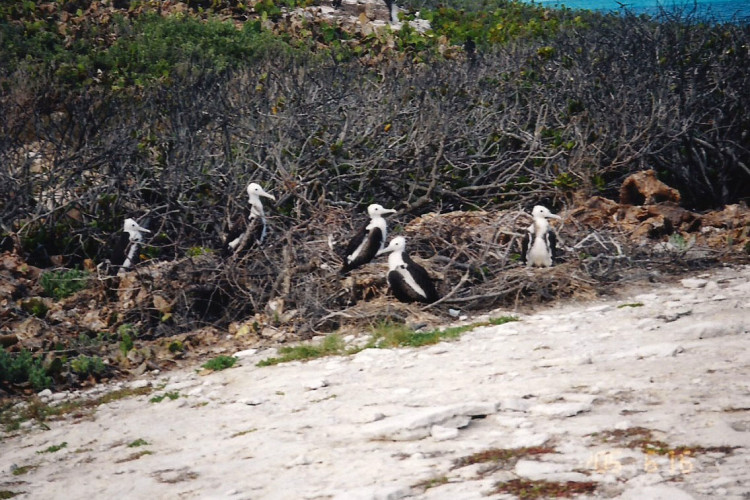 Nesting Frigatebirds on San Salvador
