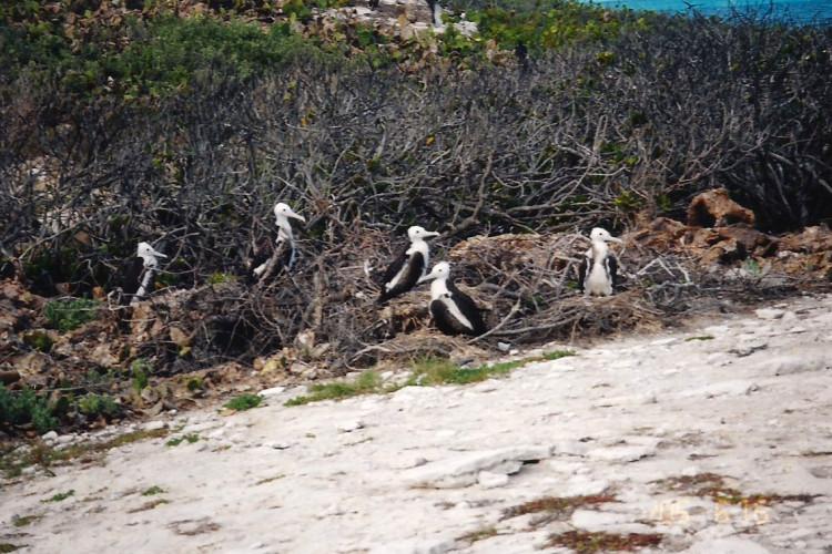 Nesting Frigatebirds on San Salvador