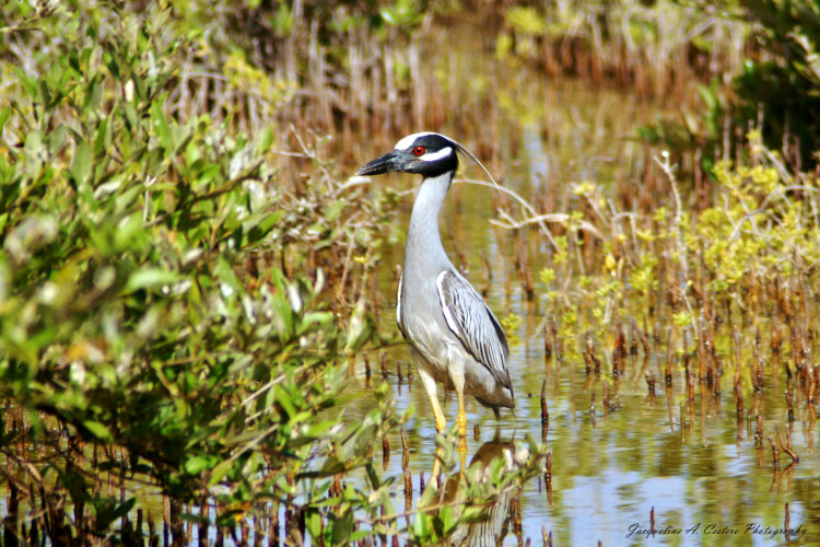 Yellow-crowned Night-heron (Photo by Jacqueline A. Cestero)