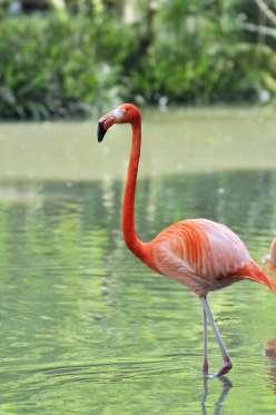 Caribbean Flamingo_TOMO