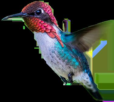 Bee-Hummingbird-Zunzuncito-volando-Aslam-Ibrahim