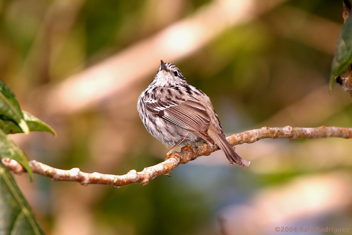 Arrowheaded Warbler