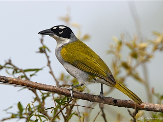 Black-crowned Palm Tanager