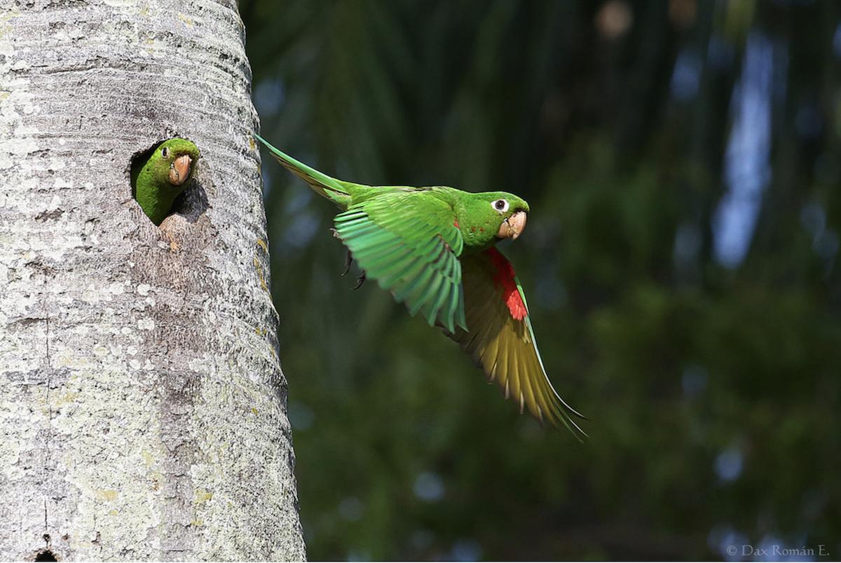 Hispaniolan Parakeet in flight at nest by Dax Roman