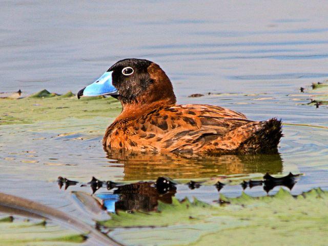 Masked Duck