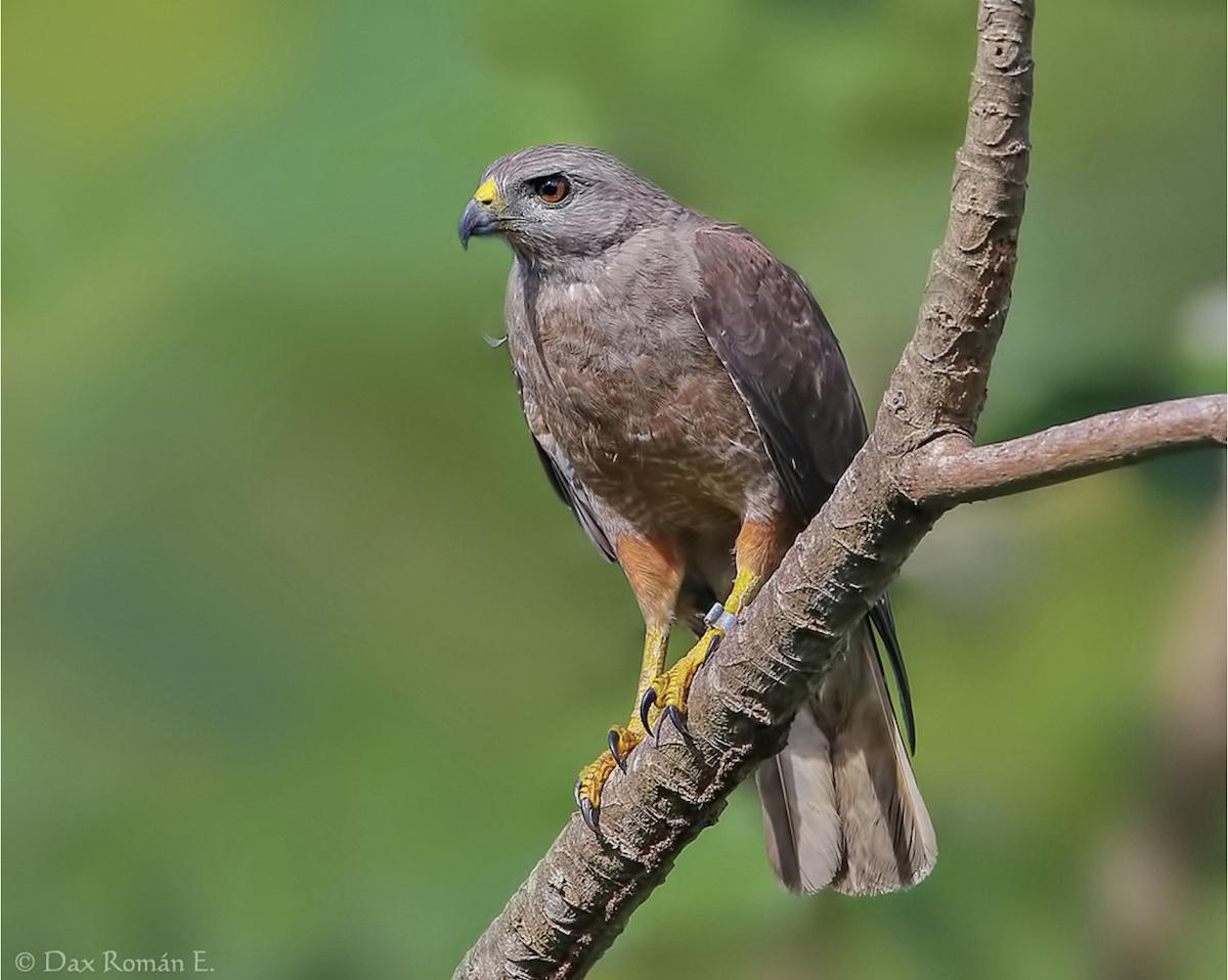 Ridgeway's Hawk