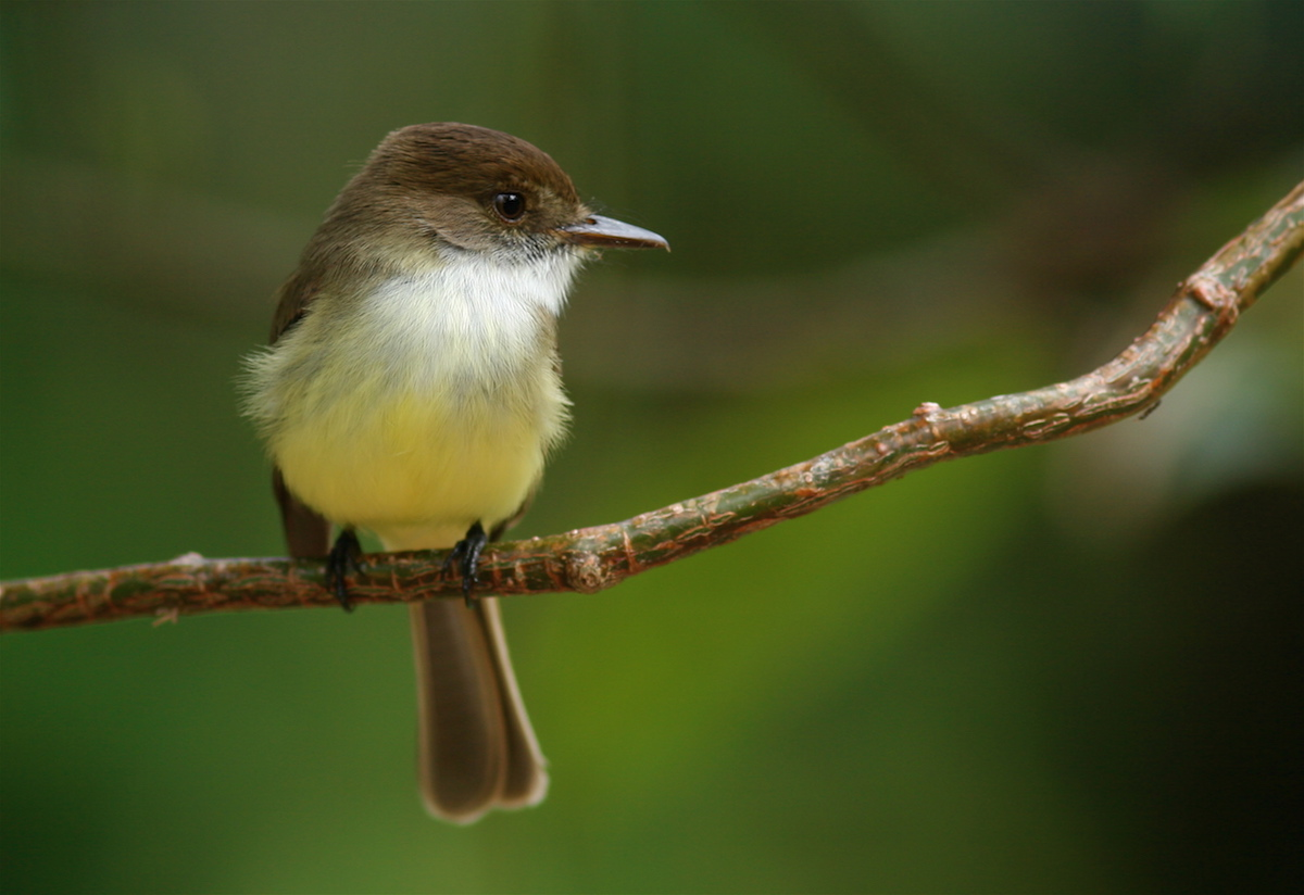 Sad Flycatcher